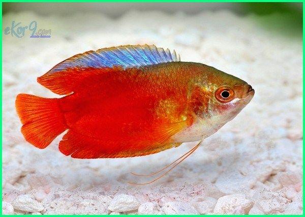 Panduan Lengkap Cara Merawat Ikan Hias Gurame Kerdil Dunia Fauna Hewan Binatang Tumbuhan Binatang Hewan Ikan Air Tawar