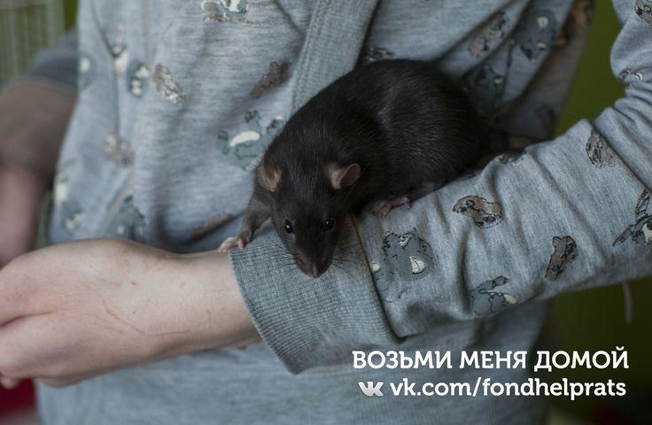 vk.com/fondhelprats #cute #rat #petrats #питер #спб #хочудомой #помощь #крыса #крысы #животные #фото