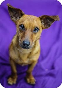 Meet Bernardo a Dachshund mix pup for #Adoption at the OREGON HUMANE SOCIETY 1067 NE Columbia Blvd #Portland #Oregon 97211 adopt@oregonhumane.org Ph 503-285-7722