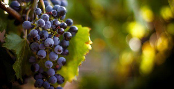 In India, the grape harvesting season begins in Feb.