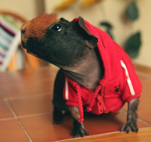 IMG_0805_2 (by afa187)  youguysyouguys - a skinny pig in a hoodie!