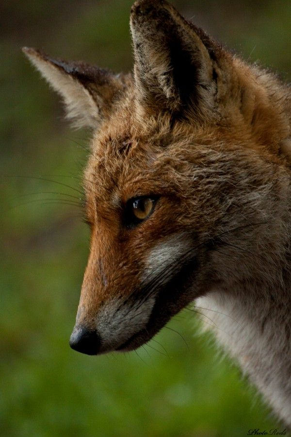 Fox by Alessio Rossi on 500px