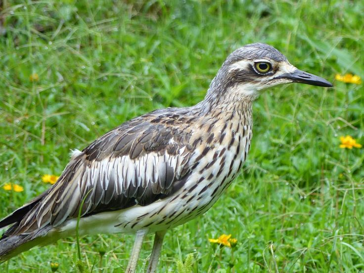 Bush stone-curlew (syn. Thick-knee)