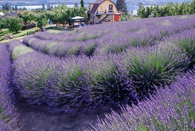 Welcome to Forest Green Man Lavender, the South Okanagan's, BC, Canada, original Lavender farm, where we offer luxurious products for uses in both, your bath and kitchen.   We've been growing lavender since 2000 and we also distill high-quality essentials oils from our own plants. All our lavender products are made from natural ingredients. http://www.forestgreenman.com/Home.html