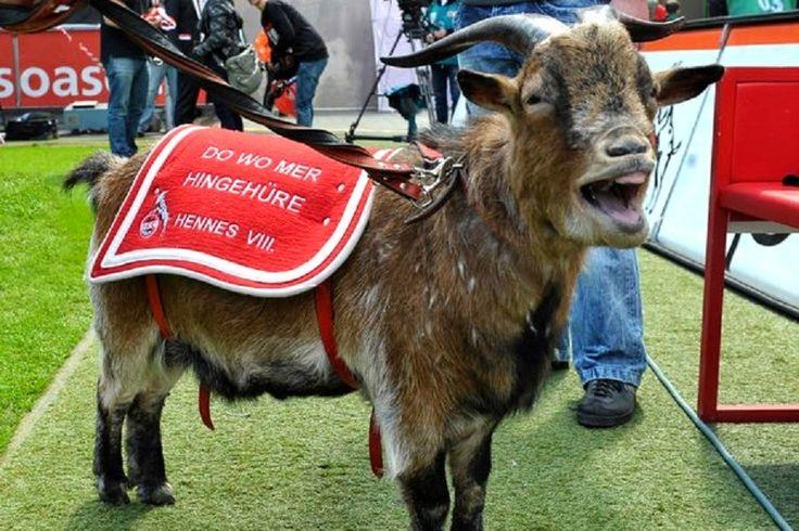 Geißbock Hennes wechselt für 12 Millionen vom 1. FC Köln zu Bayern München