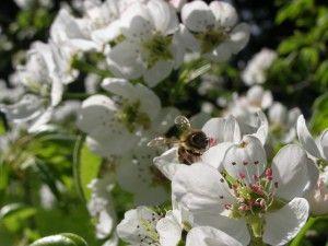 Happy-Family Apfelbaum. Verschiedene Apfelbaumsorten auf einem Baum (Sorten Früh- bis Lagerapfel). Dieser Apfel wird ca. 2,50 bis 3,50m groß und muss nicht geschnitten werden.