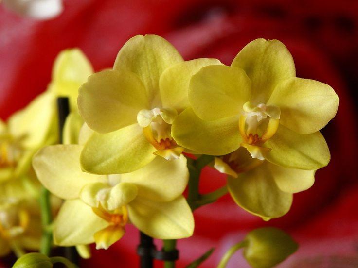 tyopoydan taustan - Orkideat: http://wallpapic-fi.com/luonto/orkideat/wallpaper-10153