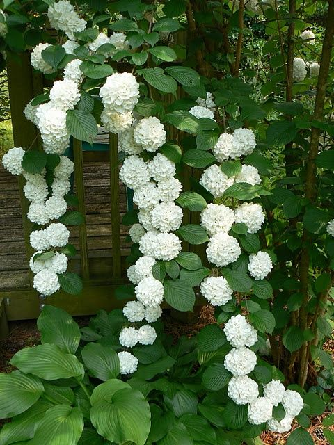 Climbing hydrangea: Gorgeous climbing hydrangea is a deciduous vine that is perfect for climbing up shady trees, pergolas and arbors. Grows in part sun to shade and blooms in early summer. Vine may take 3-5 years to bloom after first planted. Zones 4-7