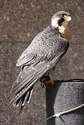 El halcón peregrino es una de las aves más usadas en cetrería.