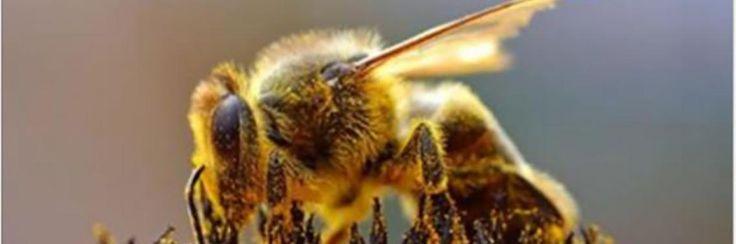Amerikaanse Staat bant als eerste pesticiden die bijen doden