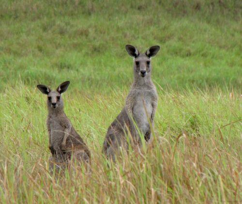 Kangaroos seen on a walk in Hunter Valley Australia
