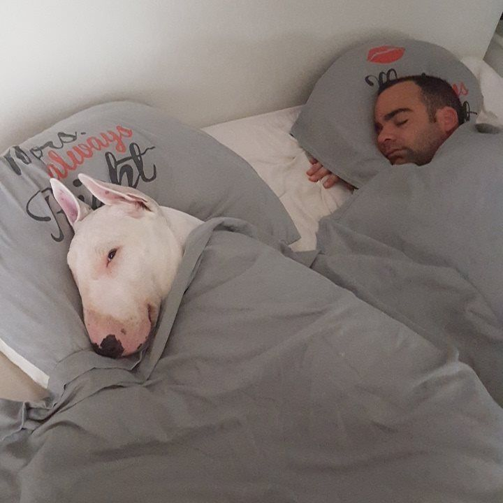 265 Best Images About Bull Terrier On Pinterest