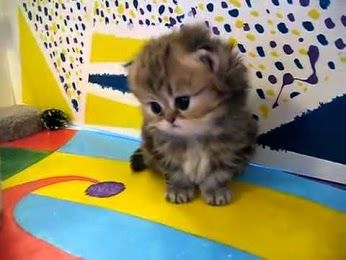 Baby kitten...his eyes are so big and dark and cute that if you look directly at them you will dissolve.