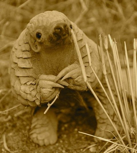 11 month old Pangolin photographed in Namibia.  Animal photos of the week: 27 September 2013 - Telegraph