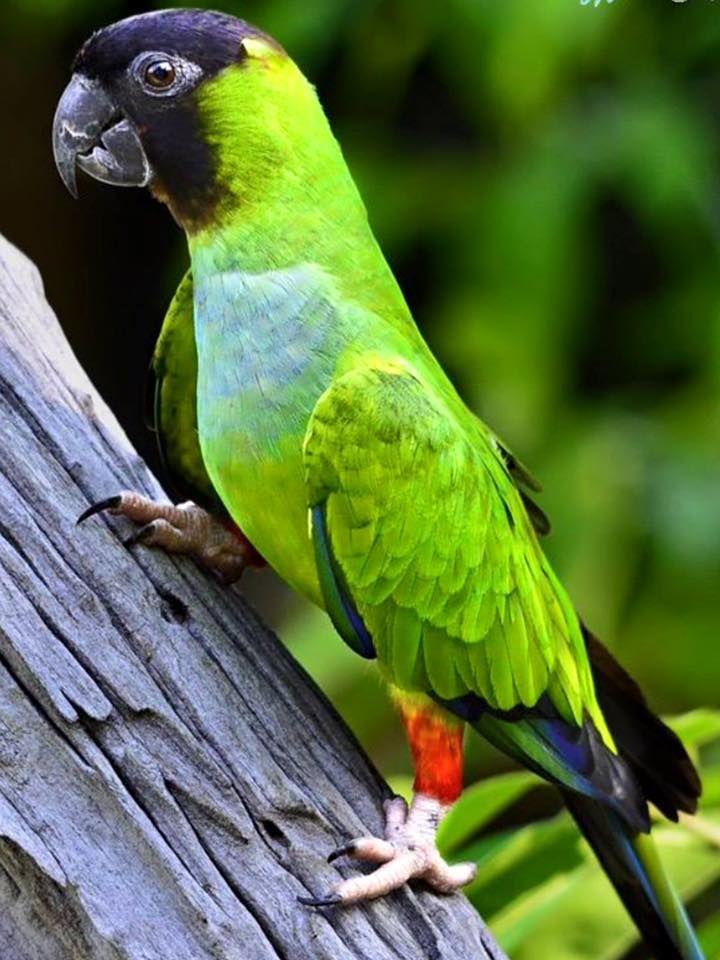 Conuro Nanday - Nanday parakeet -  Nandayus nenday