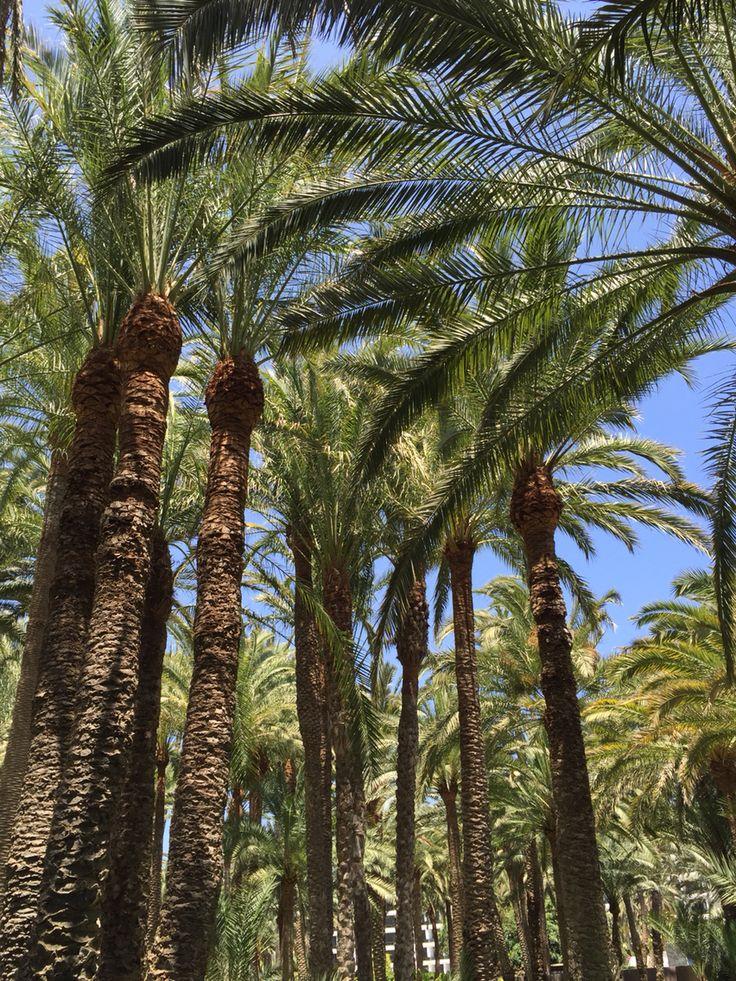 Palmeral del hotel Riu Oasis en Maspalomas, Gran Canaria