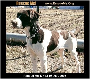 Bella— Colorado German Shorthaired Pointer Rescue — ADOPTIONS — RescueMe.Org