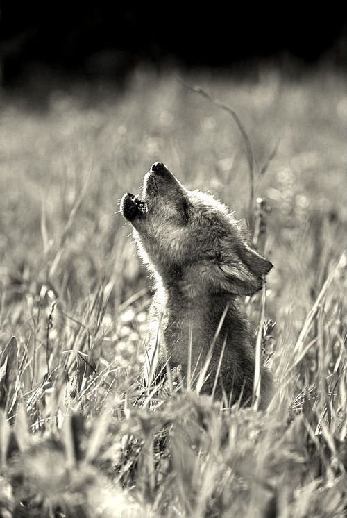 Art: Baby wolf howling