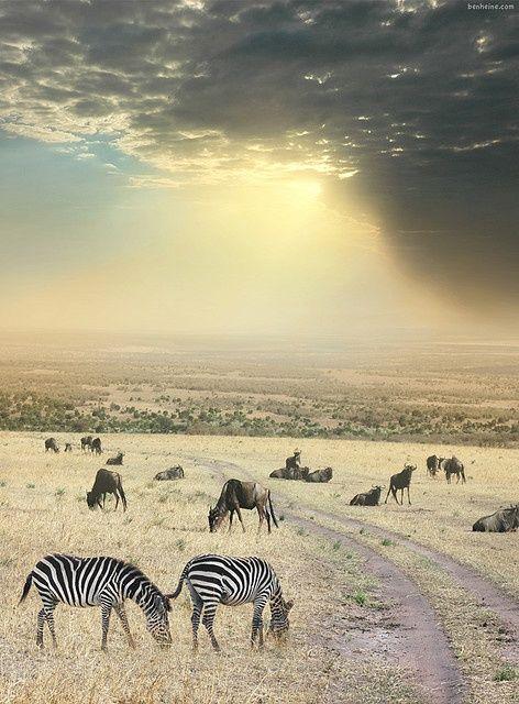 Zebras, Africa.