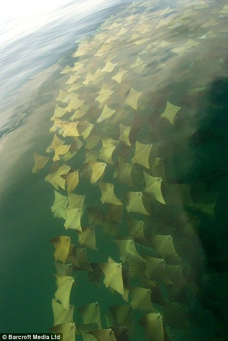 Measuring up to 6ft 6in across, poisonous golden cow-nose rays migrate in groups  -  or 'fevers'  -  of up to 10,000 as they glide their way silently towards their summer feeding grounds.