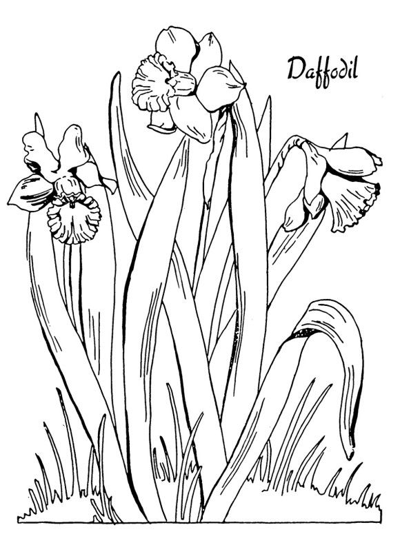 Free Daffodil Flower Coloring Page