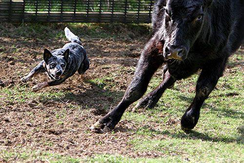 """A blue heeler/ Australian Cattle Dog: """"35 pounds of grit"""""""