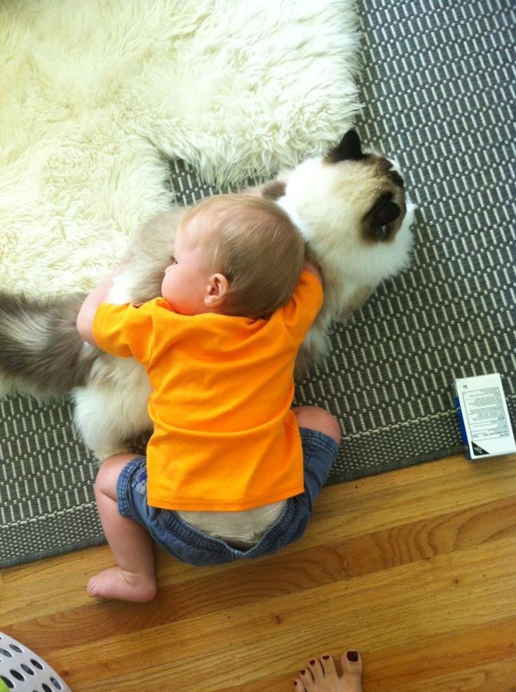 Ragdoll Cats are tolerant of children and strangers.