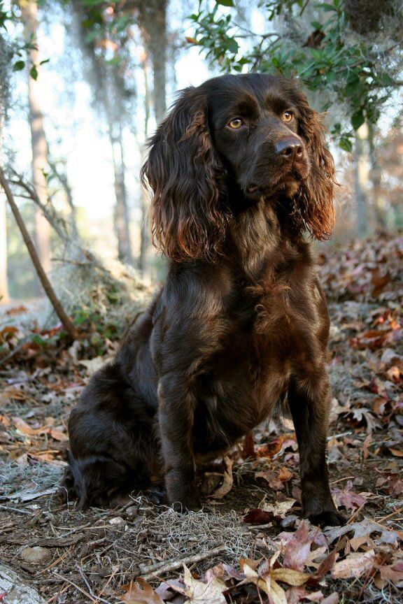 good looking Boykin Spaniel - dark curly hair and light amber eyes