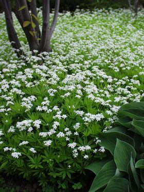 Sweet woodruff: under the pine tree by the gravel. can invade all it wants there. useful as herbal.