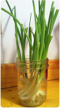 How to keep growing green onions all year long in the kitchen!