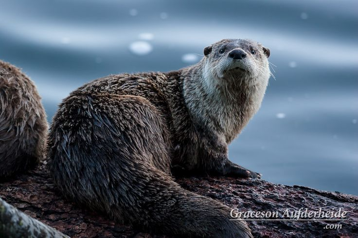 North American River Otter / Lontra canadensis