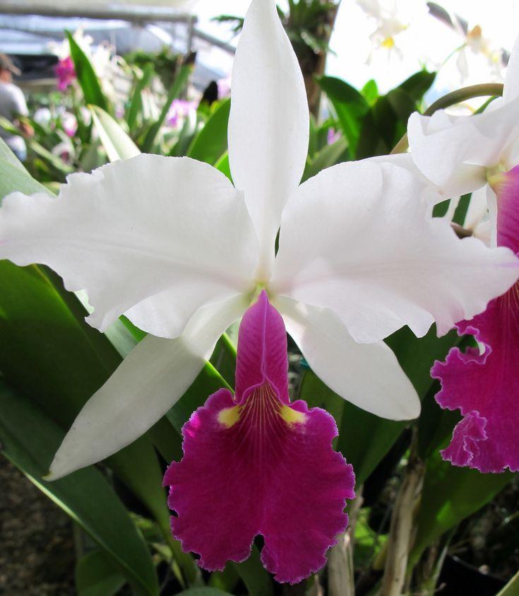 Cattleya warscewicsii - Flickr - Photo Sharing!