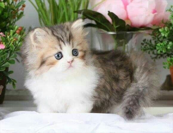 Shaded Golden And White Rug Hugger Ultra Rare Persian Kittens For Located In Northern Missouri Shipping Available