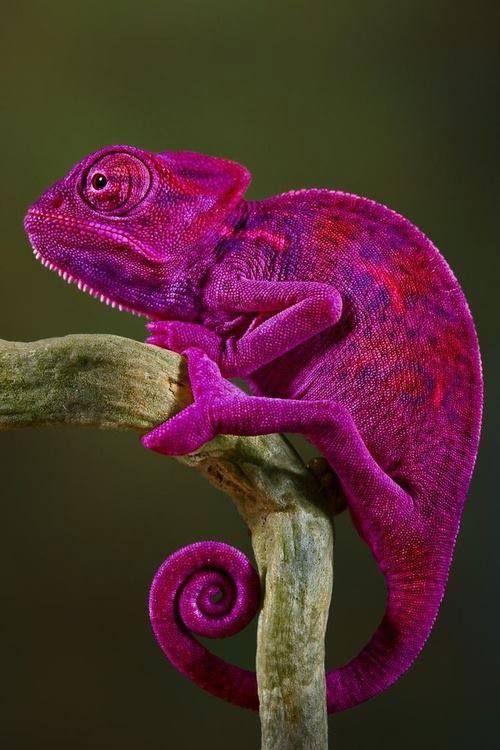 camaleão rosa