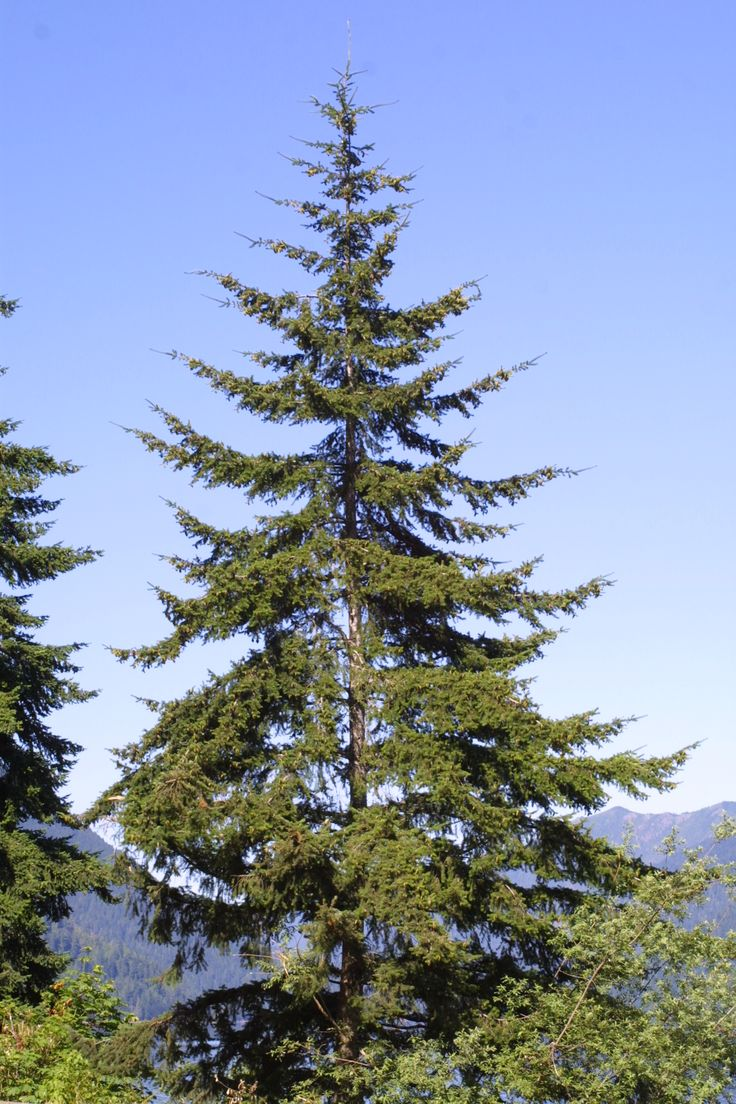 25 best ideas about douglas fir tree on pinterest pine for A common decoration for the top of the tree