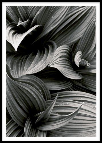 Hellebore leaf, poster. Plakat med et fotografi af blomsterblade.