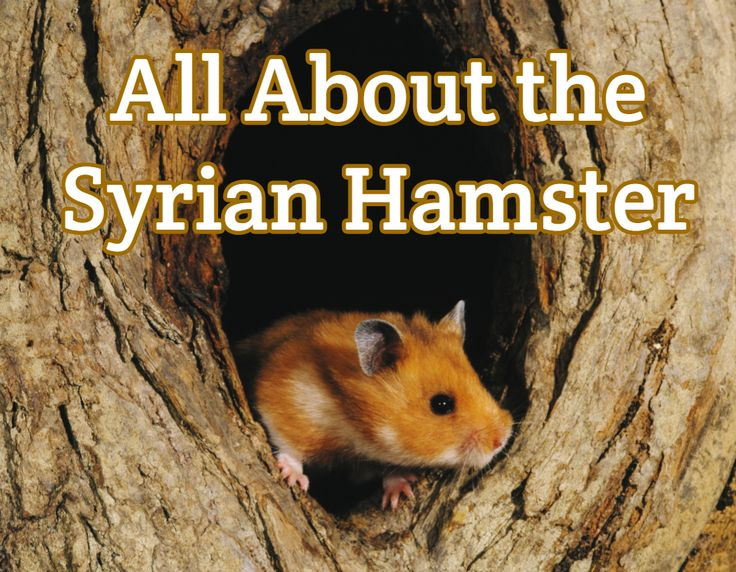 Syrian Hamster Guide - Detailed Info + Care & Feeding