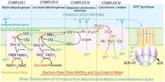 biology cell and electron transport chain Aerobic cell respiration begins with glycolysis 1 h+ donator in the electron transport chain chapter 7 – cellular respiration electron transport system 1.