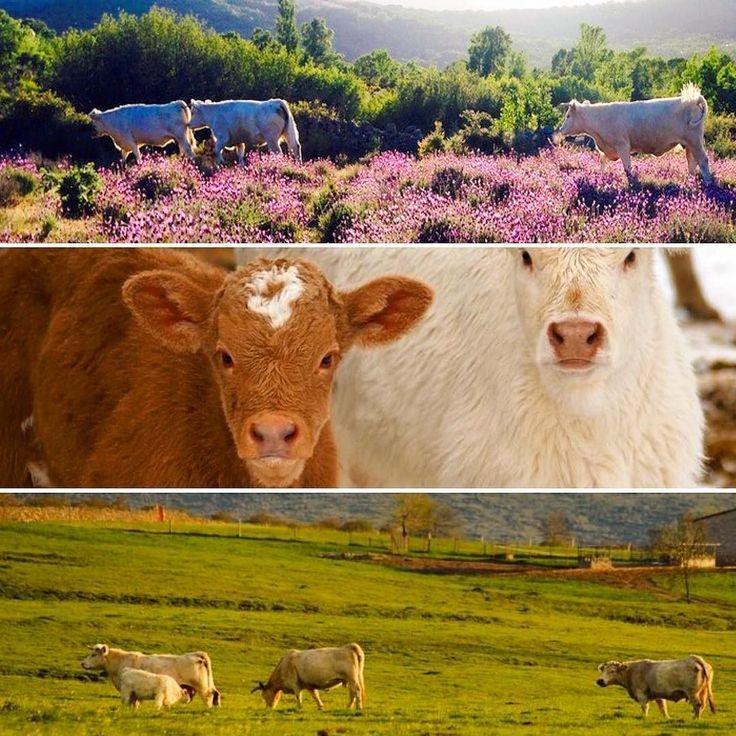 Visita en familia una granja en la sierra de Madrid en un entorno natural precioso donde no tendrás que admirar las vacas desde la valla... Sumérgete en esta aventura con Yuniqtrip y disfruta de un día diferente #conamigos #vacas #vacaciones #sierrademadrid #sierra #granja #farm #aprende #aprender #disfrutando #disfrutar #ocio #campo #familia #enfamilia #niños #planes #planesconniños #madrid #madridmola #ocio #finde #verano #verano2016 #inspain #enjoying #visitspain #turismo #turismointerno…