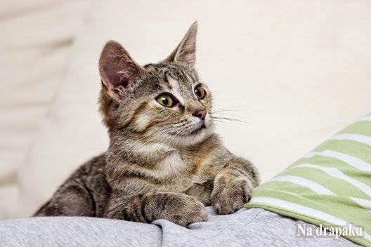 Jak pozbyć się łupieżu u kota?