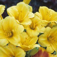 Hemerocallis 'Stella de Oro', Daylily 'Stella de Oro', Day Lily 'Stella de Oro', 'Stella de Oro' Daylily, daylilies, Daylily, Day Lilies, Yellow flowers, Yellow day lily, Yellow Daylily, Hemerocallidaceae, perennial, plant