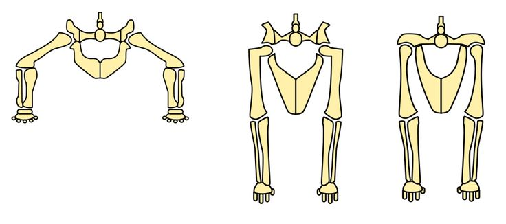 File:Sprawling and erect hip joints no label.svg