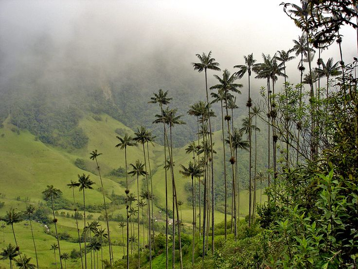 Cocora Valley, Colombia. home to the highest palm trees in the world!