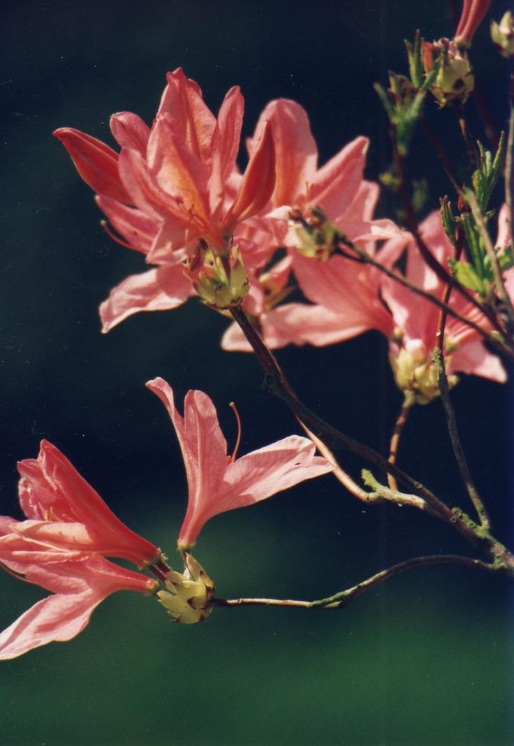 Azalee  www.anconaflowershow.com