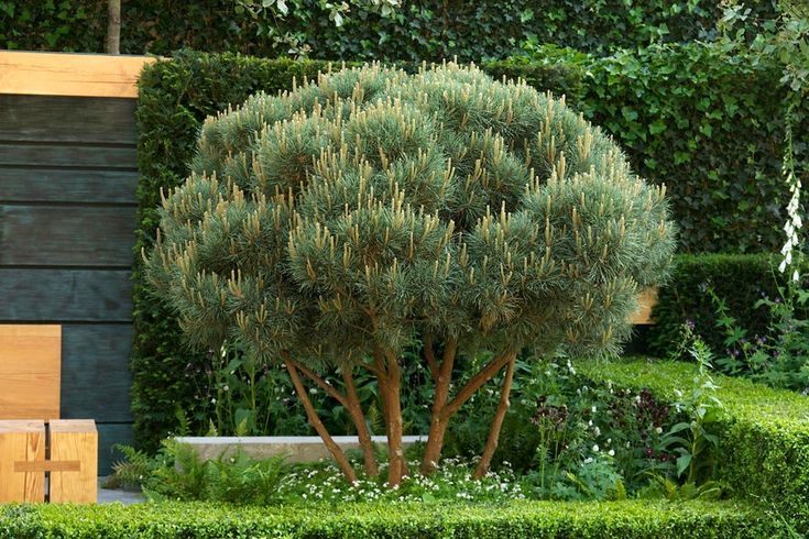 Among all the magnificent specimen plants on display at Chelsea on of the finest individuals was Pinus sylvestris 'Watereri', shown on Show ...