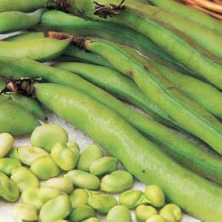 Fava bean 'Masterpiece Green Longpod'. A reliable and popular long pod Broad Bean variety with up to 6 or 7 flavoursome beans per pod. The tender green Broad Beans are excellent for freezing and have received the RHS Award of Garden Merit for its great qualities.