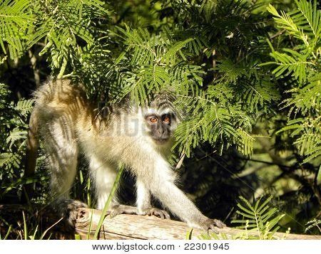 Vervet Monkey in trees