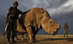 A picture of loneliness: you are looking at the last male northern white rhino Jonathan Jones The image of Sudan the rhino, surrounded by the armed guards who protect him from poachers, shows how little humans have learned since the ice age Sudan the last male northern white rhino