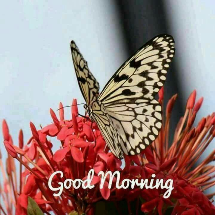 Good Morning Wishes & Quotes - Good Morning (With A Beautiful White & Black Butterfly On Red Flowers).