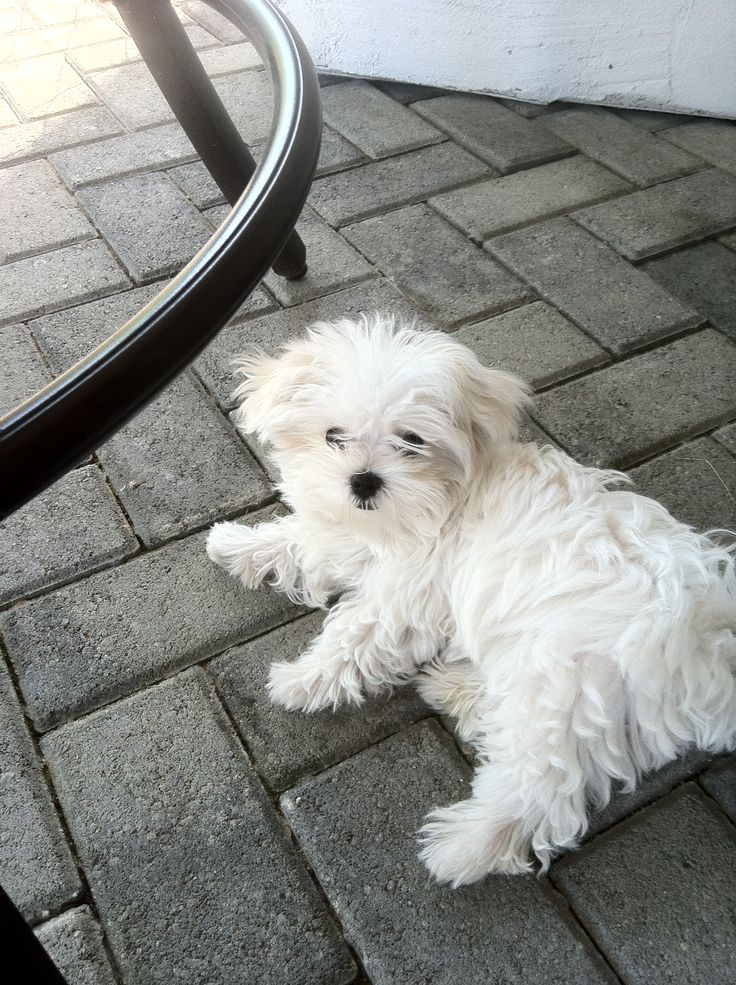 Maltese Puppies for sale in Thika Kenya